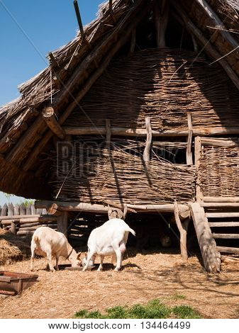 Goats are feeding in front of wooden historic building