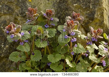 Ground Ivy - Glechoma hederacea  Ground cover plant