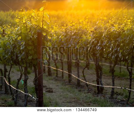 The glowing vines of a Napa vineyard at sunset. Grapevines glowing at golden hour. Lush summer vines in a Napa vineyard. Yellows and oranges shine from the sun in the background.