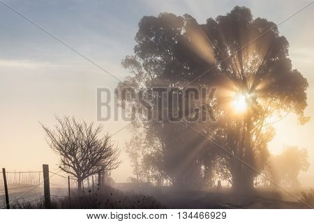 Sun rays through tree on foggy morning by country road. Misty winter morning by a rural road. Sun rays sun beams shining through a tree. Fog creates a serene ethereal mood.