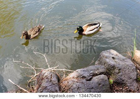 Duck Couple Swim On The Pond
