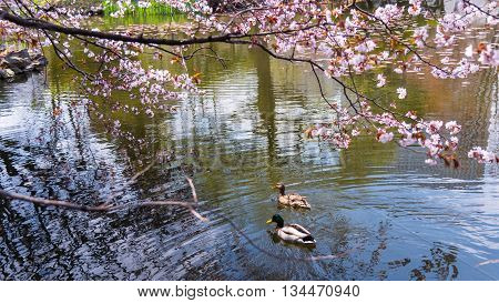 Duck Couple Swim With Cherry Blossom