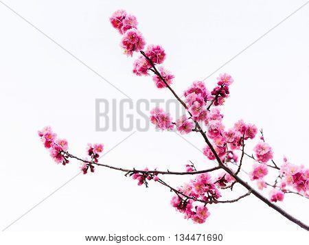 Pink Cherry Blossom Or Sakura Twig