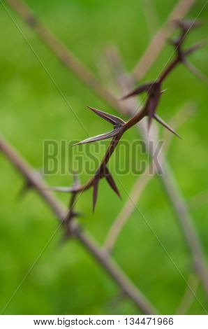 sharp spines thorns on blurred green background