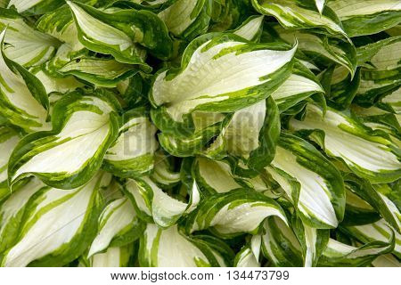 Green leaves background . Colorful natur leaves background.