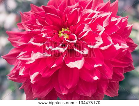 Closeup Of Red Dahlia Flower With Retro Filter Effect