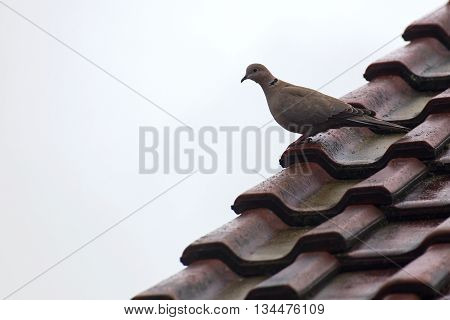 Eurasian collared dove (Streptopelia decaocto) sitting on a roof.