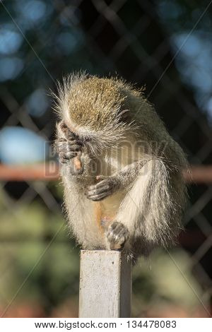 Vervet Nonkey On Fence