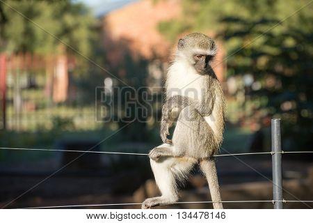 Monkey On Fence