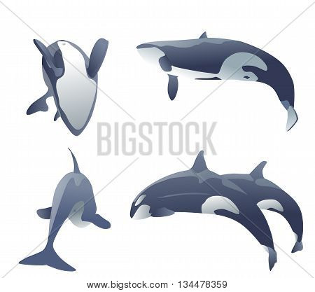 set of killer whales jumping on white. vector illustration