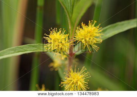 Flower of a tufted loosestrife (Lysimachia thyrsiflora)