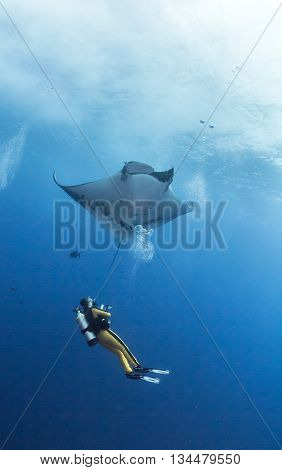 Manta Ray with a Scuba Diver at Islas Revillagigedos, Mexico