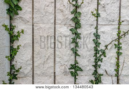 Twine plant on the facade of the building. Background, texture, wallpaper