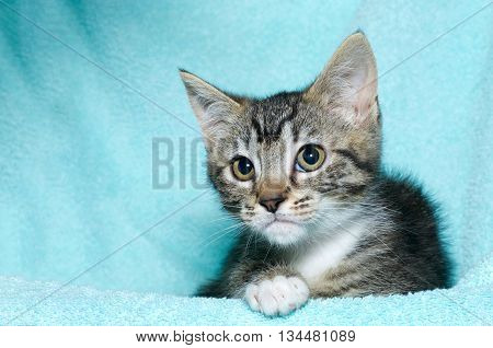 young six week old black and white tabby kitten sitting laying on an aqua teal colored blanket resting watching looking to the left of the frame