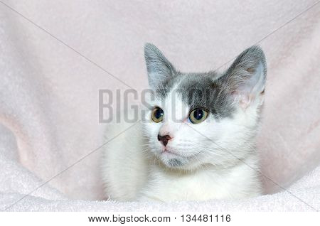 young gray and white six week old tabby kitten on a light pink blanket looking to the left of the frame