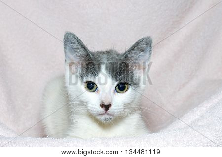 young gray and white six week old tabby kitten on a light pink blanket looking forward
