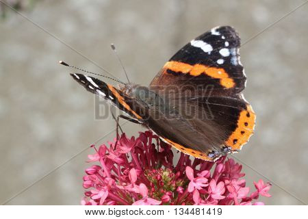 the beautiful orange and black butterfly in the garden