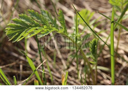 Fresh Leaves Of The Common Tansy (tanacetum Vulgare)