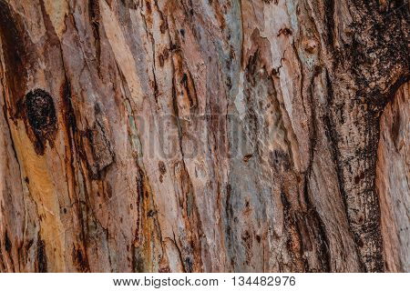 Close up of abstract colorful striped texture and pattern of eucalyptus tree.