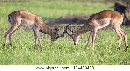 Two males impala fight in for the herd with the best territory