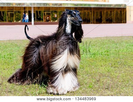 Afghan Hound looks. The Afghan Hound is on the green grass.