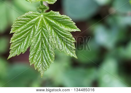 Macro Of A Maple Leaf Shot Directly From Above