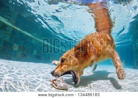 Playful golden retriever labrador puppy in swimming pool has fun - dog jump and dive underwater to retrieve shell. Training and active games with family pets and popular dog breeds on summer holiday