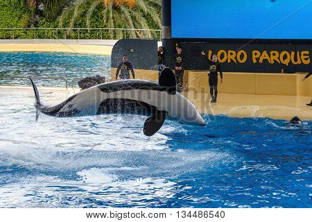 PUERTO DE LA CRUZ, TENERIFE, SPAIN - DECEMBER 6, 2015:  Jumping grampus at oceanarium of Loro parque in Puerto de la Cruz, Tenerife island, Spain