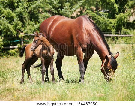Mare with one day old foal on the meadow in summer