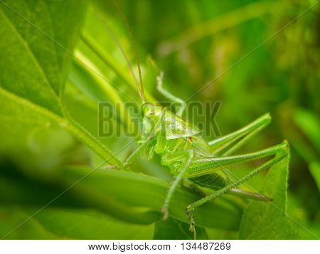 Green grasshopper in a grass with a sting - it is possible to use as an illustration wreckers a locust