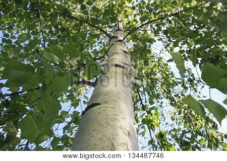 the trunk wood of white birch with green branches with leaves on sky background