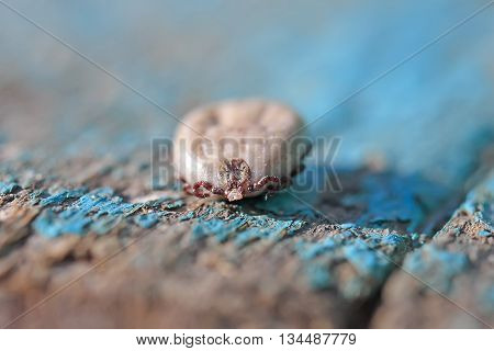 tick with inflated blood belly sits on a wooden surface