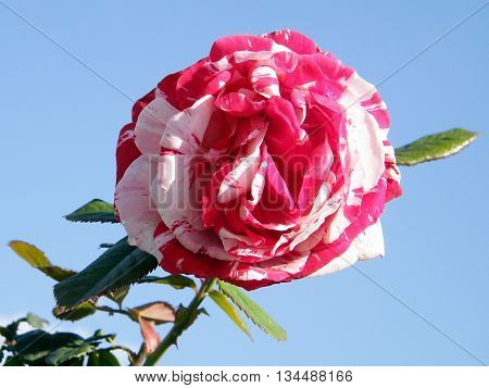 Red and White rose isolated in Or Yehuda Israel