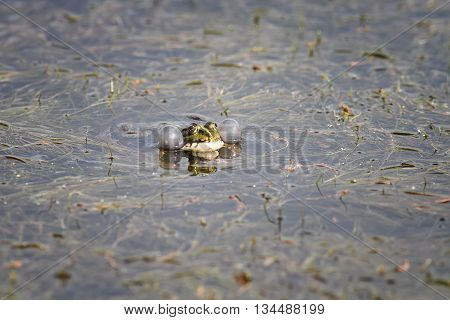 bright green frog swims in the swamp blowing his cheeks