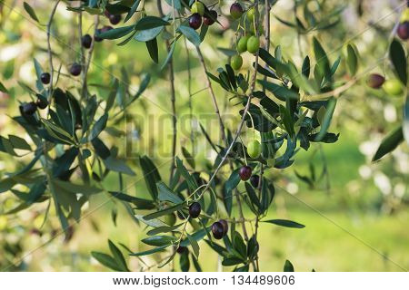 Olive tree with fruits, natural  agricultural food  background