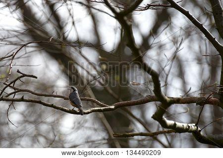 Eurasian Nuthatch (sitta Europaea) Singing On Twig