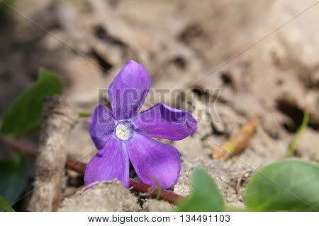 The Evergreen Bigleaf Periwinkle (vinca Major) With Blossom