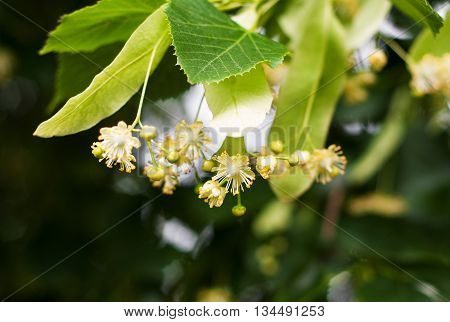 fresh blossoming linden branch in june day