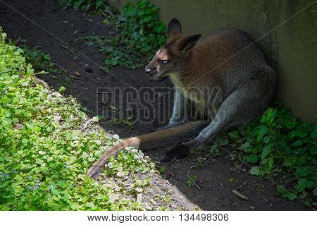 Bennett's wallaby (Macropus rufogriseus) resting in shade