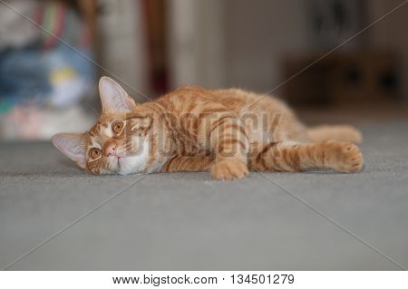 Furry and orange cat relaxing on his side.