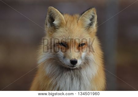 Beautiful red fox staring straight ahead in a candid capture.