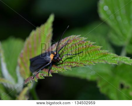 Beautiful vibrant colorful moth, blue body, orange neck and shiny black wings.  Unique antennae in sharp detail.  Insect resting on garden leaf in outdoor setting.