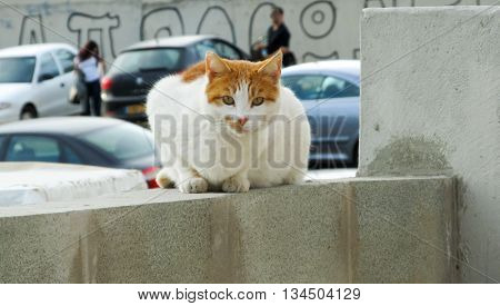 Brown and white European (Celtic) shorthair cat sitting on the stone edge