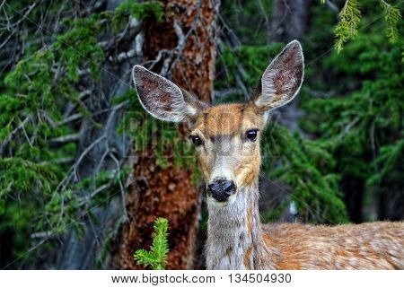 Female mule deer on Mount Evans, Colorado
