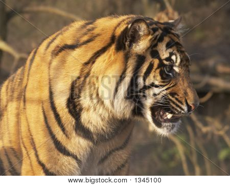 Growling Tiger
