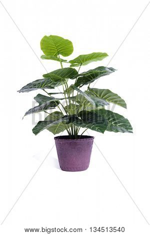 Office plant isolated on the white background