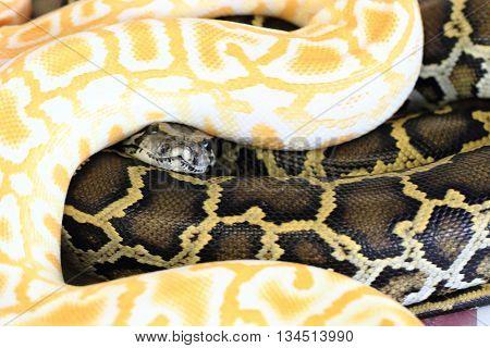 Albino And Normal Snake