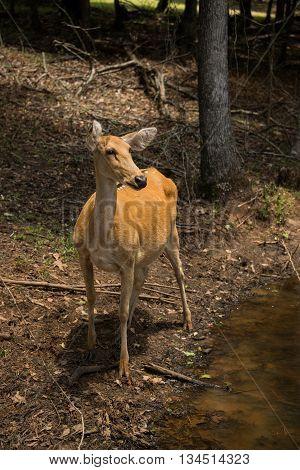 Barasingha female deer doe or swamp deer from India