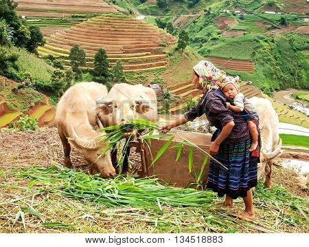 YEN BAI, VIETNAM, May 26, 2016 Hmong woman, high mountains, Yen Bai, Vietnam. Care buffalo
