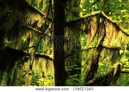 a picture of an exterior Pacific Northwest rainforest mossy hemlock tree